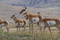 Female pronghorn antelope at the National Bison Range in Montana