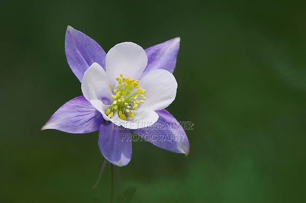 Blue Columbine,Colorado Columbine,Aquilegia coerulea, Ouray, San Juan Mountains, Rocky Mountains, Colorado, USA
