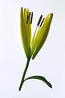 Flores. Lírios (Lilium pumilum). SP. Foto de Manuel Lourenço.