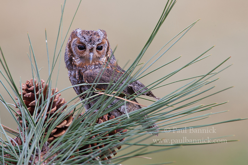 A Flammulated Owl perches upon a Ponderosa Pine cone.