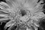 Black & White Chrysanthymum