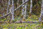 Olympic Peninsula, Washington , black-tailed deer