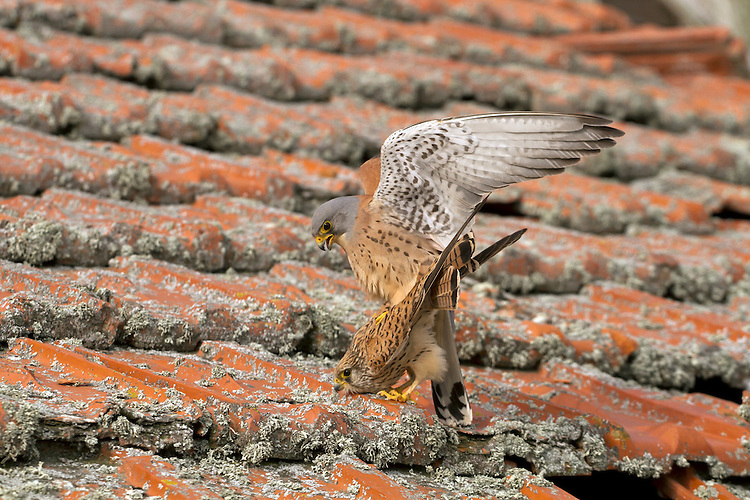 Lesser Kestrel - Falco naumanni - Mating pair