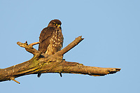 Adult female Merlin (Falco columbarius) on a snag. Whatcom County, Washington. March.