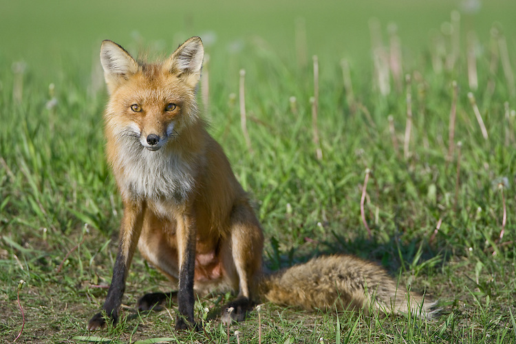 Red Fox Vixen just outside her den before going on the morning hunt