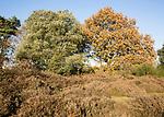 Quercus ilex evergreen oak and Quercus Robur English oak, heathland autumn, Shottisham, Suffolk, England, UK