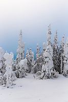Snow load on spruce trees