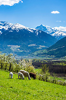 Italy, South Tyrol (Trentino - Alto Adige), Val Venosta, above Sluderno: sheep, apple blossom and Ortler Alps   Italien, Suedtirol (Trentino - Alto Adige), Vischgau, oberhalb Schluderns: Obstbaumbluete, Schafe und Ortler-Alpen