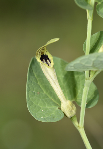 Aristolochia pallida - a birthwort species
