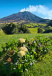 A smoking Turrialba Volcano rises above a tropical montane (mountainous) cloud forest landscape found at higher altitudes in Costa Rica. A hedgerow of hydrangea or hortensia flowers flourish in these cooler altitudes.