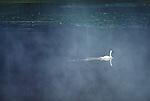 2542 Swan Lake - Trumpeter Swan (Cygnus buccinator) Grand Teton National Park, WY..#PRINT-2542.00