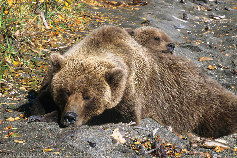 Coastal bear sow and cub sleep along the shore of Naknek lake in Katmai National Park, Alaska
