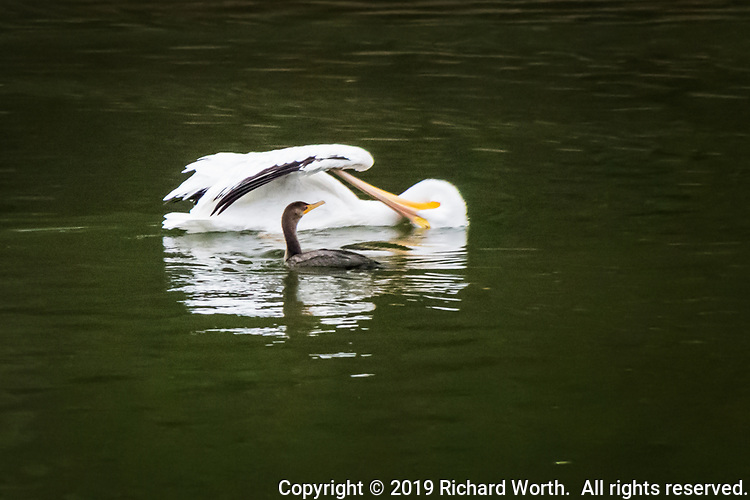 An American white pelican twists and turns its long supple neck until its head is upside down, 180-degrees, to pluck and groom its wing, while a Double-crested cormorant looks on.