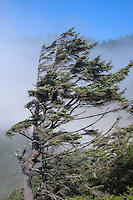 ORCOC_D253 - USA, Oregon, Siuslaw National Forest, Cape Perpetua Scenic Area, Wind-twisted Sitka spruce (Picea sitchensis) trees and fog near shoreline.
