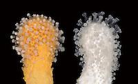 Dead Man's Fingers - Alcyonium digitatum