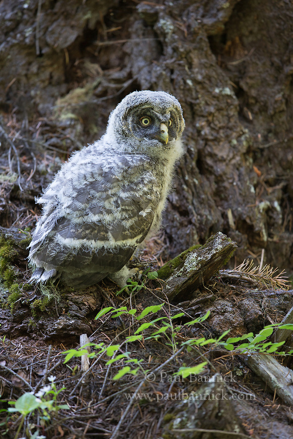 A Great Gray Owl fledgling begins to explore minutes after fledging.