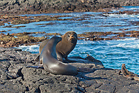 Glapagos fur sea lion and Galapgos sea lion meet, James Bay, Stantiago Island, Galapagos Islands, Ecuador.