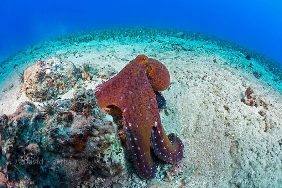 Hawaii's most common eight armed cephalopod, the day octopus, Octopus cyanea, Maui, Hawaii.