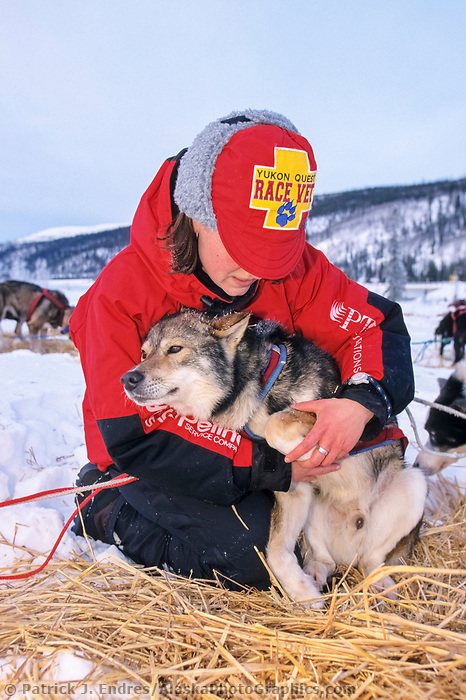 Veterinarian checks sled dogs for health during the 1000 mile Yukon Quest trail to Whitehorse, Canada, Steese mountains, 100 miles from Fairbanks, Alaska