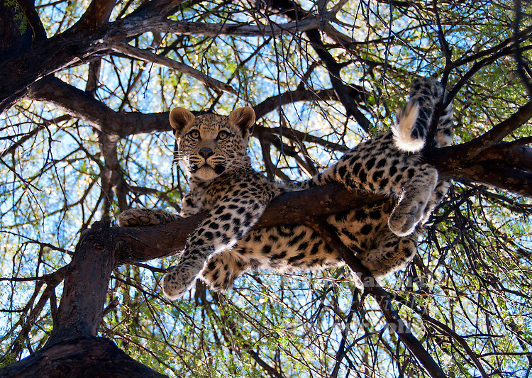 The African Leopard (Panthera pardus pardus) is a leopard subspecies occurring across most of sub-Saharan Africa. In 2008, the IUCN classified leopards as Near Threatened, stating that they may soon qualify for the Vulnerable status due to habitat loss and fragmentation. They are becoming increasingly rare outside protected areas. The trend of the population is decreasing.