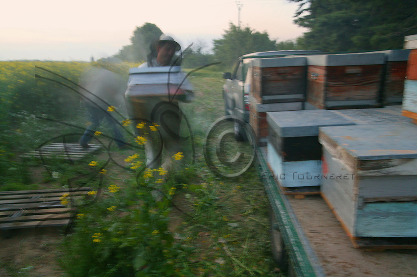 Loading the hives for the transhumance takes place at dusk. Beekeepers also prefer rainy days because the bees remain in their hives..
