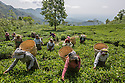 India – West Bengal: Tea pluckers collecting leaves at Makaibari Tea Estates, in the Darjeeling region. Darjeeling tea is one of the most expensive and prized in the world, with almost all its production sold abroad. Its retail price can reach 1,850 USD per kg.