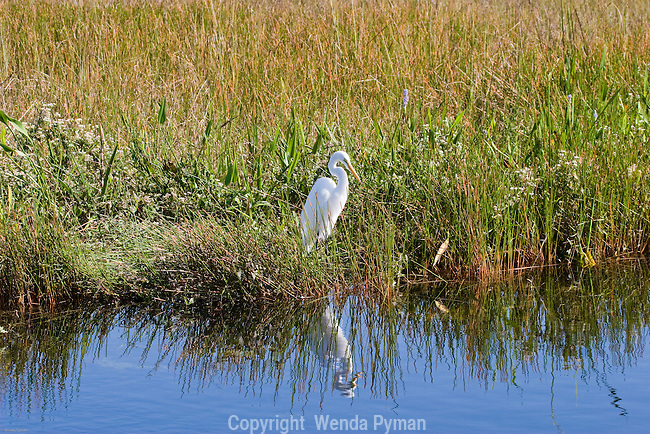The Great Egret is a common sight in the Everglades.