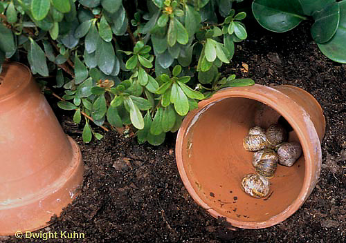 1Y39-019c  Land Snail - hiding in pots