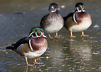 The beautiful wood duck is commonly seen at Reifel Migratory Bird Sanctuary in winter.