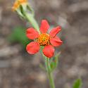 Red avens (Geum coccineum syn. Geum chiloense), mid June.