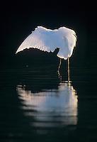 Great Egret, Ardea alba, adult preening, Sanibel Island, Florida, USA