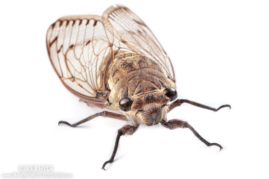 Cicada {Cicadoidea} photographed in mobile field studio on a white background in the centre of Maliau Basin, Sabah's 'Lost World', Borneo, Malaysia.