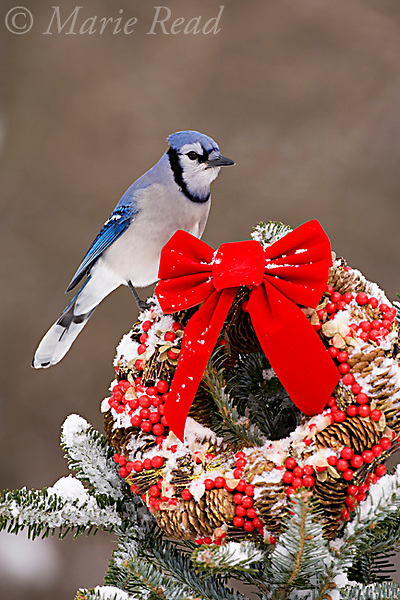 Blue Jay (Cyanocitta cristata) perched on Christmas wreath with a red bow in winter, New York, USA