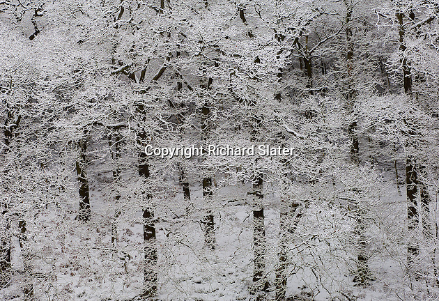 The trees on the hills above the ruined Mount Grace Priory, near Osmotherley, the North Yorkshire Moors, England, look especially lovely under a coating of fresh snow.