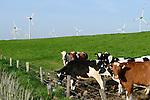 GERMANY milk cows at farm / DEUTSCHLAND Schleswig Holstein, Milchkuehe auf einer Weide