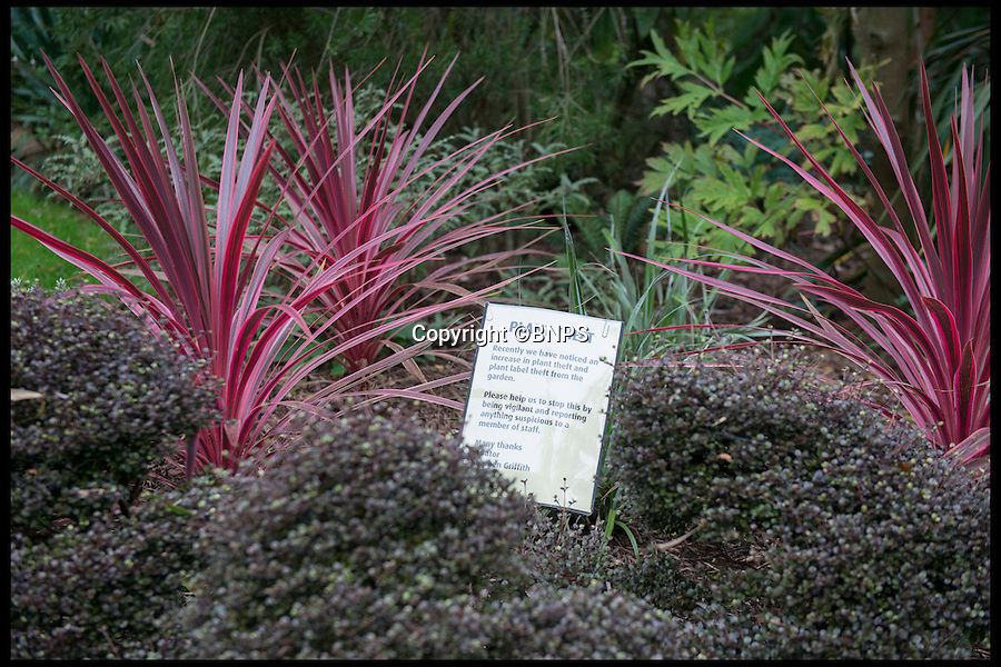 """BNPS.co.uk (01202 558833)<br /> Pic: LauraDale/BNPS<br /> <br /> The site of a missing New Zealand Cabbage Palm at Abbotsbury Sub-Tropical Gardens.<br /> <br /> The increase in thefts of rare and unusual plants is forcing botanical gardens to take extreme measures to keep green-fingered thieves at bay.<br /> <br /> Garden staff have had to install security cameras and patrol their plants to ensure people armed with rucksacks and hidden gardening tools don't dig them up.<br /> <br /> Between 10 to 15 exotic plants have been stolen from the Sir Harold Hillier Gardens near Romsey in Hampshire this year and Abbotsbury Subtropical Gardens in Dorset has seen about a dozen """"choice"""" plants disappear.<br /> <br /> At Harold Hillier Gardens they suspect most of the thefts have been carried out at night, but at Abbotsbury brazen thieves have been digging plants up at the root in daylight when members of the public could walk past at any minute.<br /> <br /> Barry Clarke, a botanist at Sir Harold Hillier Gardens for 12 years, said the problems with theft seem to have got much worse in the last five years.<br /> <br /> With 180 acres and only 15 garden staff looking after 42,000 plants, they just can't watch every part of the garden and people are making off with rare and expensive plants that are almost impossible to replace.<br /> <br /> Expensive peonies, specialist snowdrops and mahonias so rare they haven't been named yet were among the plants taken and staff have resorted to installing motion cameras to catch the culprits."""