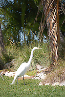 White Heron on Treasure Island Florida, spring 2007