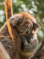 Numerous koala bears can be seen on the side roads along the Great Ocean Road in southern Australia.