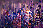 A mass of pink, purple & blue lupin flowers, Ahuriri river, Omarama, Waitaki District, Canterbury, South Island, New Zealand.