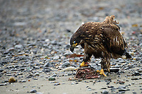 A bald eagle scvanges a fish carcass on Ninilchik Beach in south central Alaska.