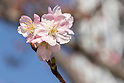 Kawazu-zakura cherry blossoms in Tokyo