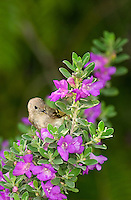 554800023 a wild ruby-crowned kinglet regulus calendula feeds on sage on south padre island cameron county texas united states