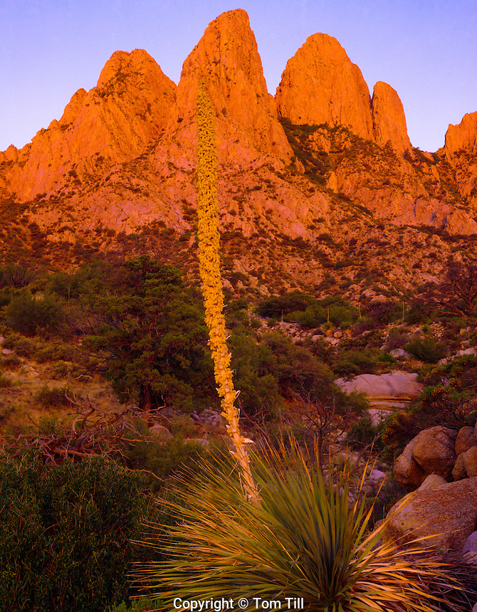 Organ Mountains at dawn, Aguirre Springs National Recreation Area, New Mexico     Yucca bloom