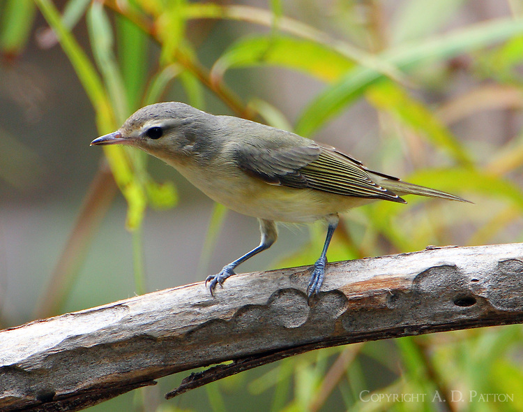 Warbling vireo in fall migration