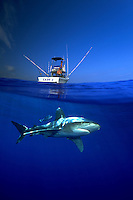 This split image of an oceanic whitetip shark, Carcharhinus longimanus, and fishing boat was taken several miles off the Big Island in open ocean. Hawaii. The image is a digital composite.