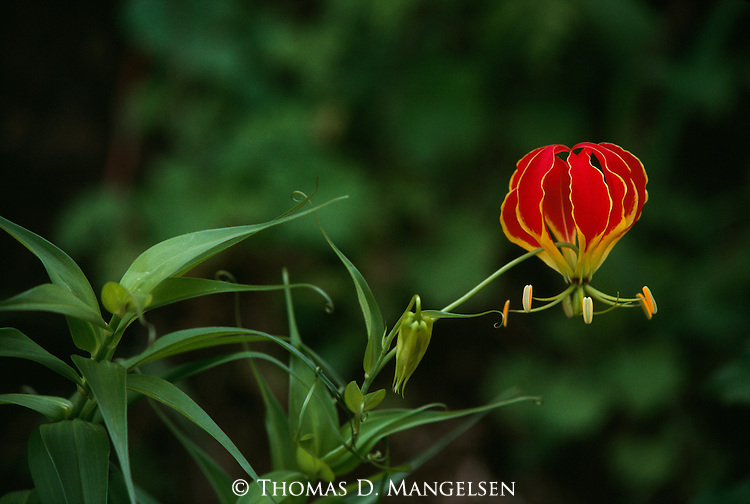 Close-up of a Gloriosa or Glory Lily in Ngorongoro Crater, Tanzania.