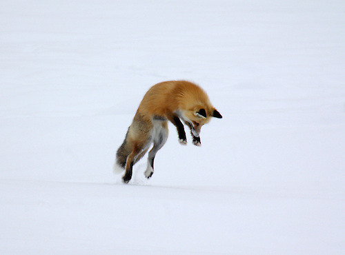 "A red fox dives under the snow to catch its prey in a technique called ""mousing"" at Yellowstone National Park"