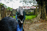 Indonesia, Sumatra. Medan. Cassowary (Casuarius casuarius) is found in Maluku, New Guinea and northern Australia. Medan Zoo.