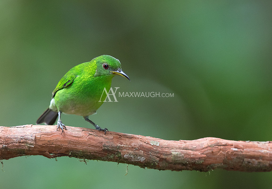 Unlike many bird species, the Green honeycreeper female lives up to its name more than the male.