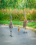 "This charming Sandhill Crane family walked away with First Place in the ""Focus on Wildlife"" photography contest sponsored by the Dane County Human Society Four Lakes Wildlife Center. It was also published in the June, 2013 edition of Wisconsin Naural Resources magazine."